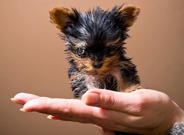 Самый маленький в мире щенок