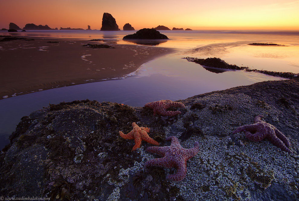 Морские звезды, штат Орегон