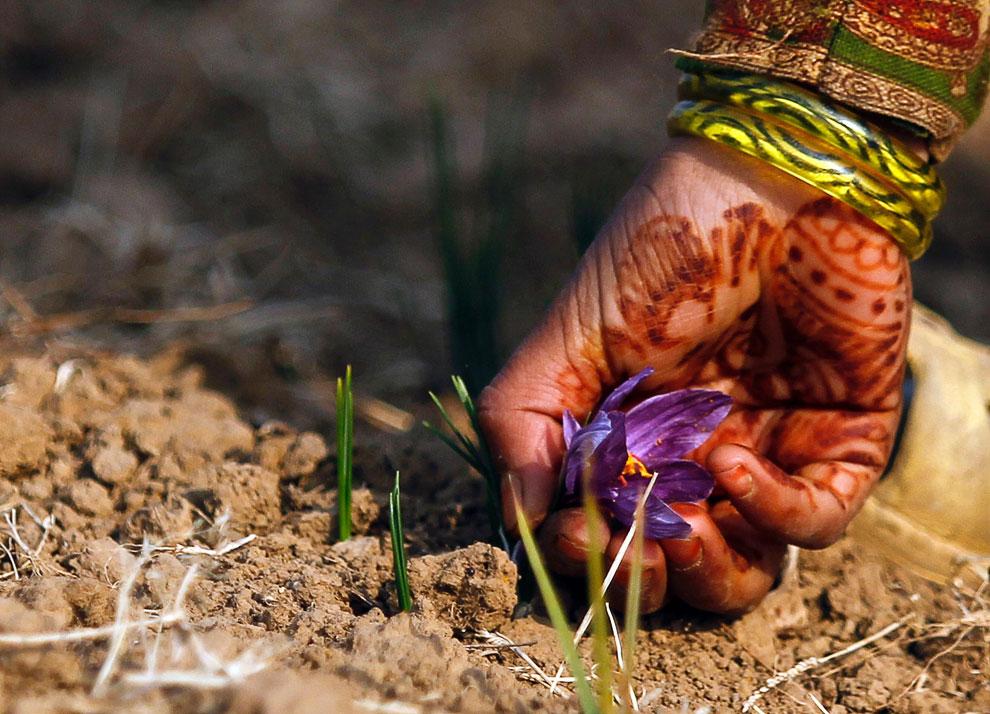 Шафран фото рослини