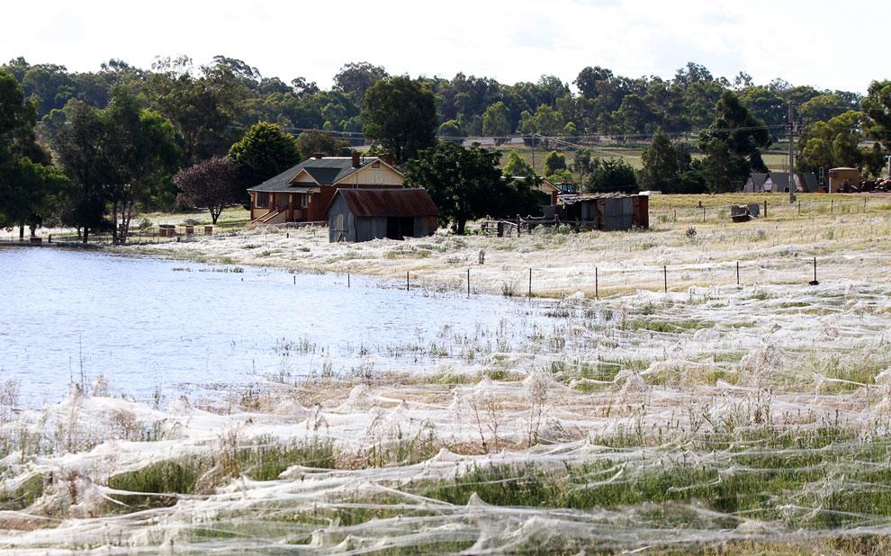 Наводнение в Австралии дало другой необычный эффект — массовое нашествие пауков