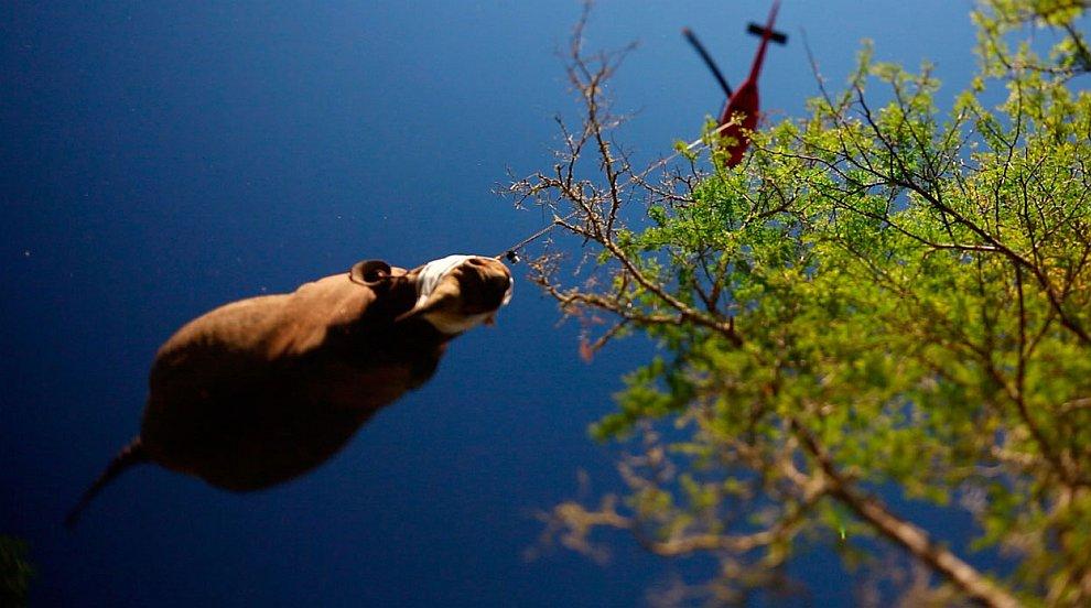 Особенности национальной перевозки черных носорогов на вертолете в Южной Африке