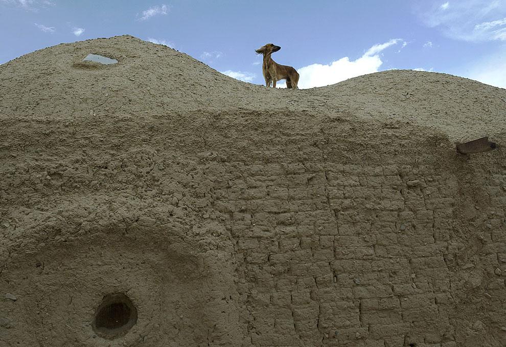 Афганская борзая на крыше дома в деревне в Кандагаре