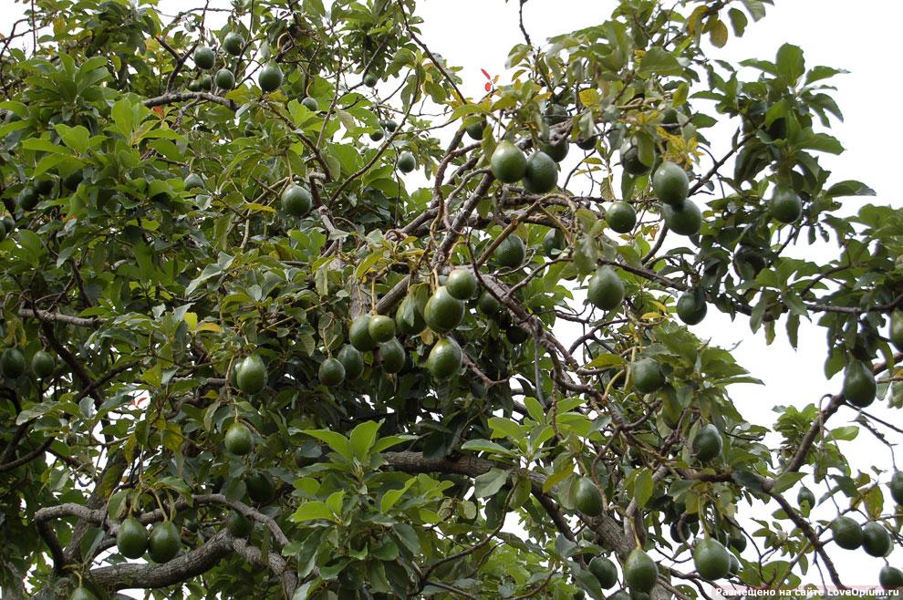 Как растет авокадо