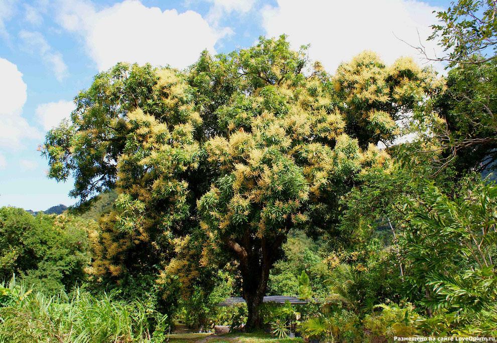 Цветущее манговое дерево