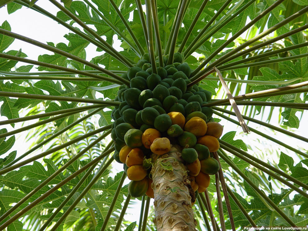 Как растет папайа