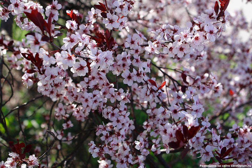 Цветущее сливовое дерево