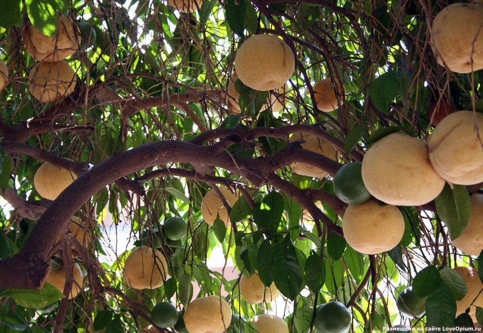 Как растет грейпфрут