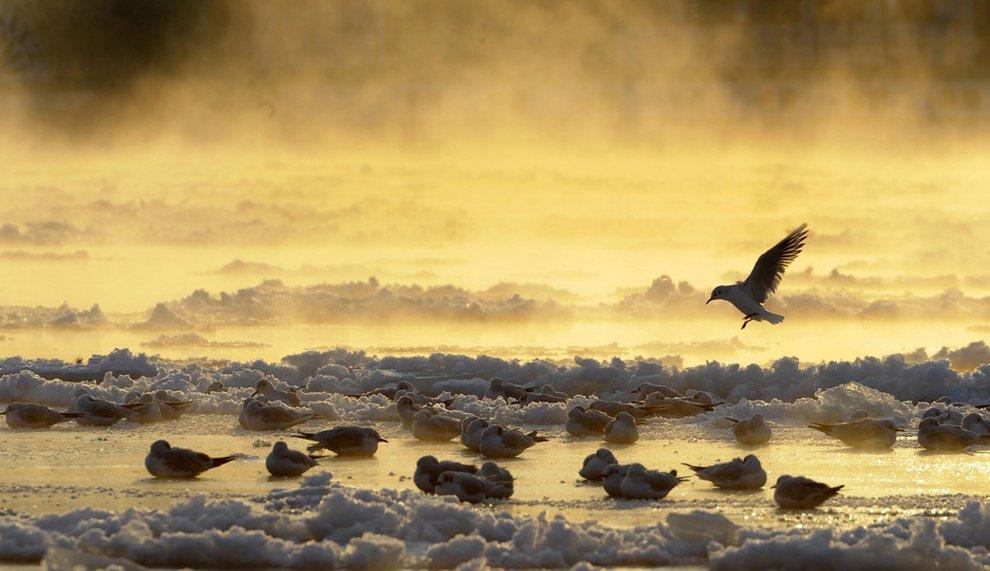 Птицы на частично замерзшей реке Эльбе в Дрездене, Германия