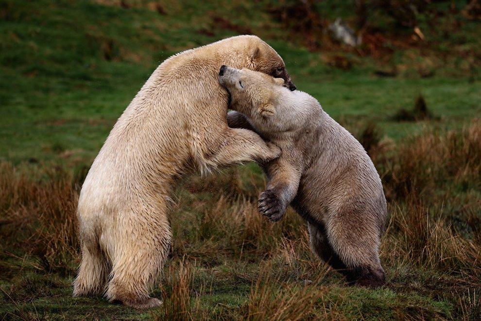 Белые медведи в в Хайленд-Парке дикой природы в Кингусси, Шотландия