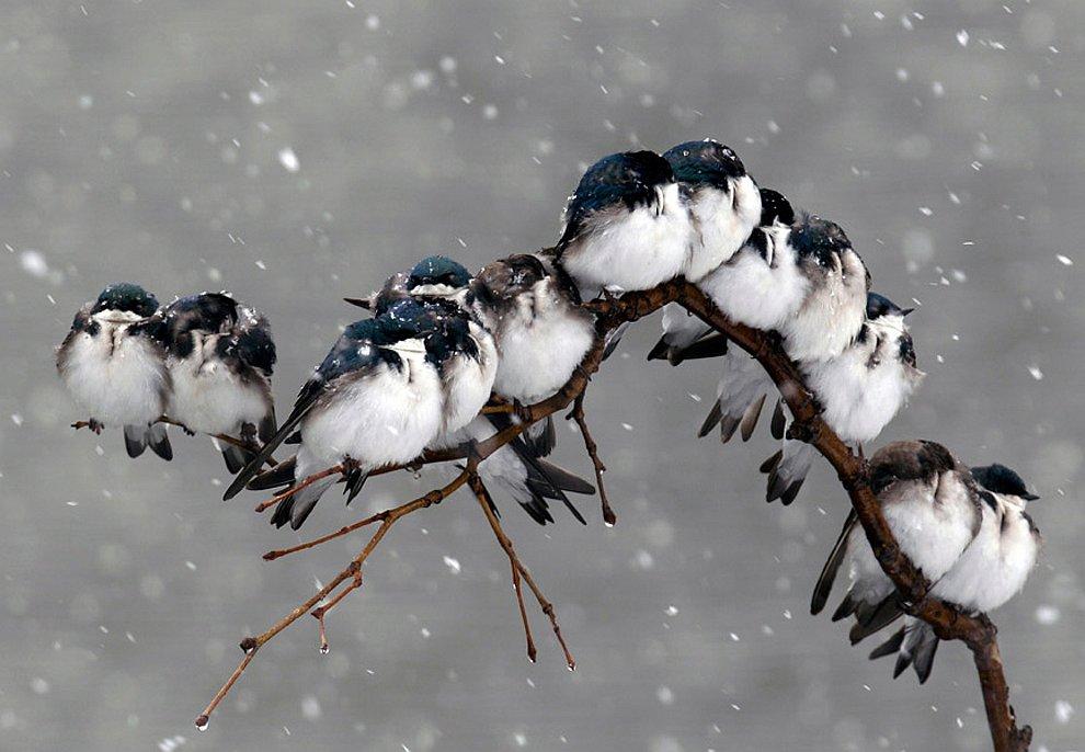Озябшие птицы на ветке во время метели в штате Нью-Йорк