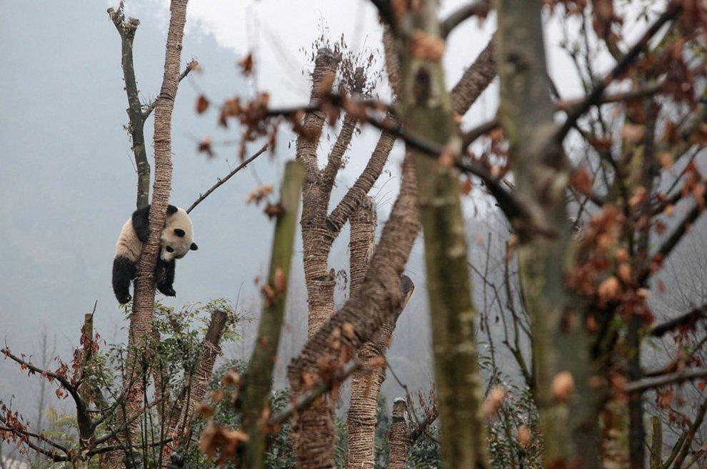 Гигантская панда на дереве в лесу в провинции Сычуань, Китай