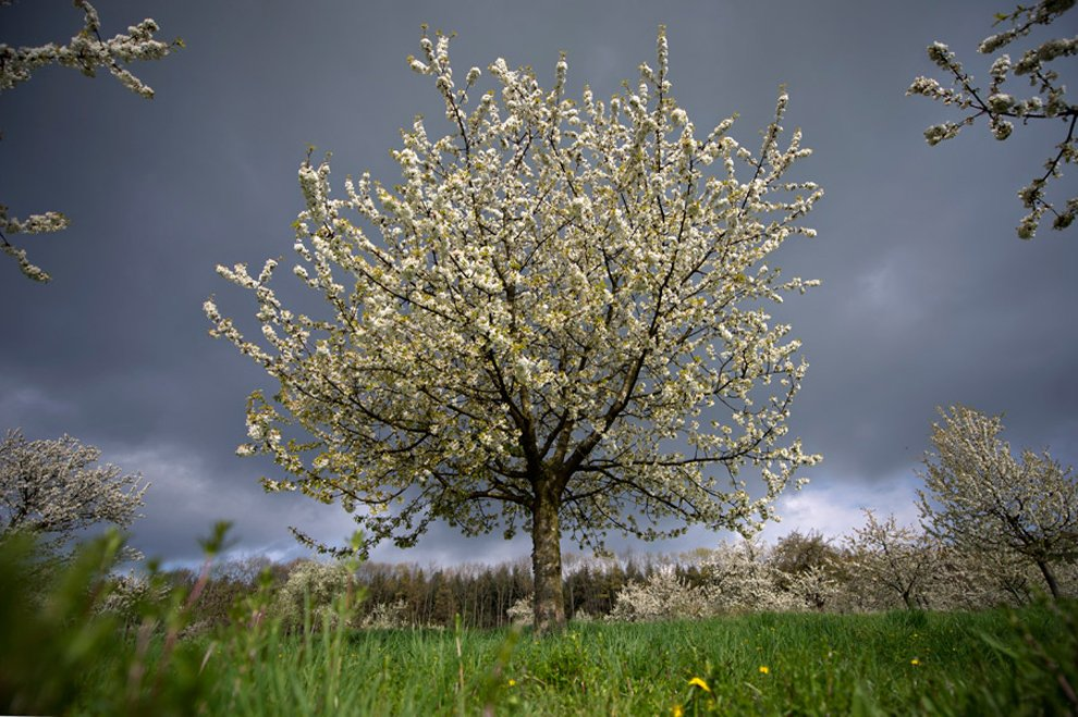 Цветущие вишни, Германия