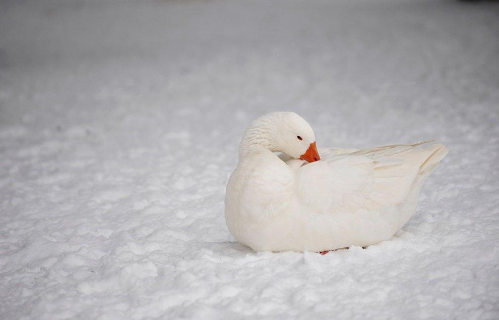 Гусь на снегу в зоопарке в Македонии
