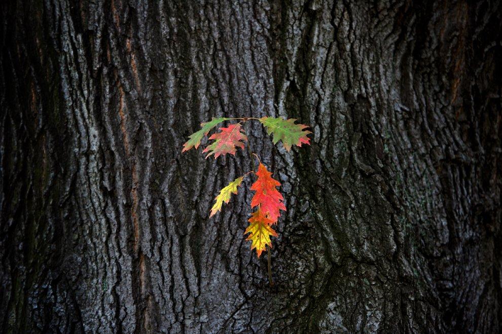 Последние листья перед долгой зимой. Дрезден, Германия