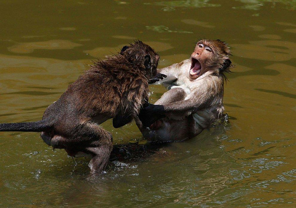 Освежающие ванны у обезьян в жаркий день на окраине Бангкока, Таиланд