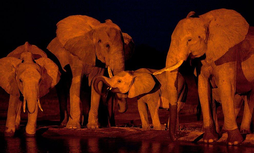Стадо слонов на ночном водопое. Национальный парк в Кении