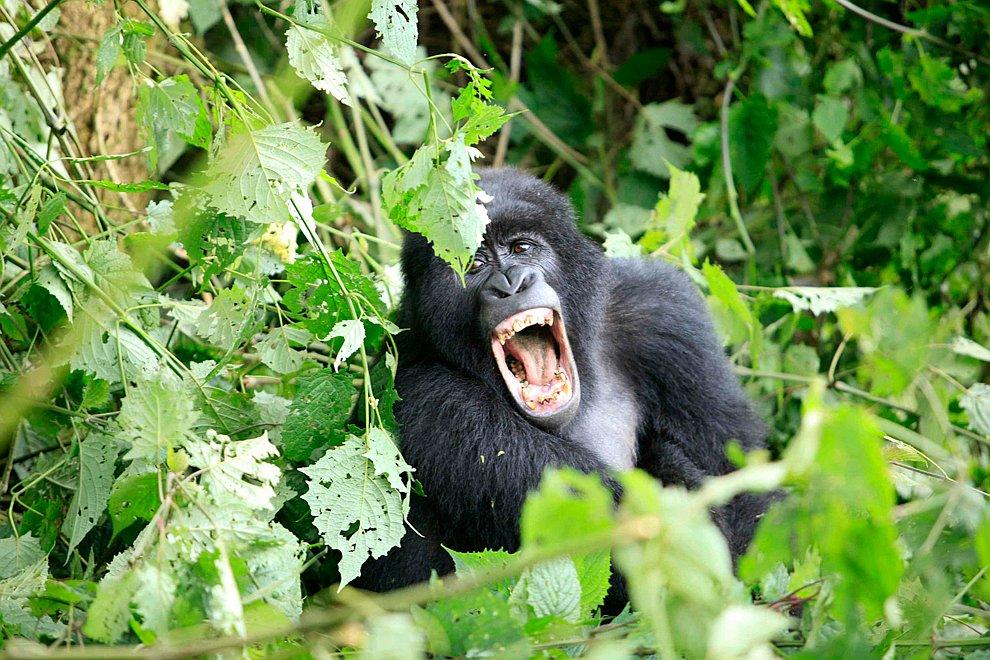 Горная горилла в национальном парке Вирунга в Демократической Республике Конго