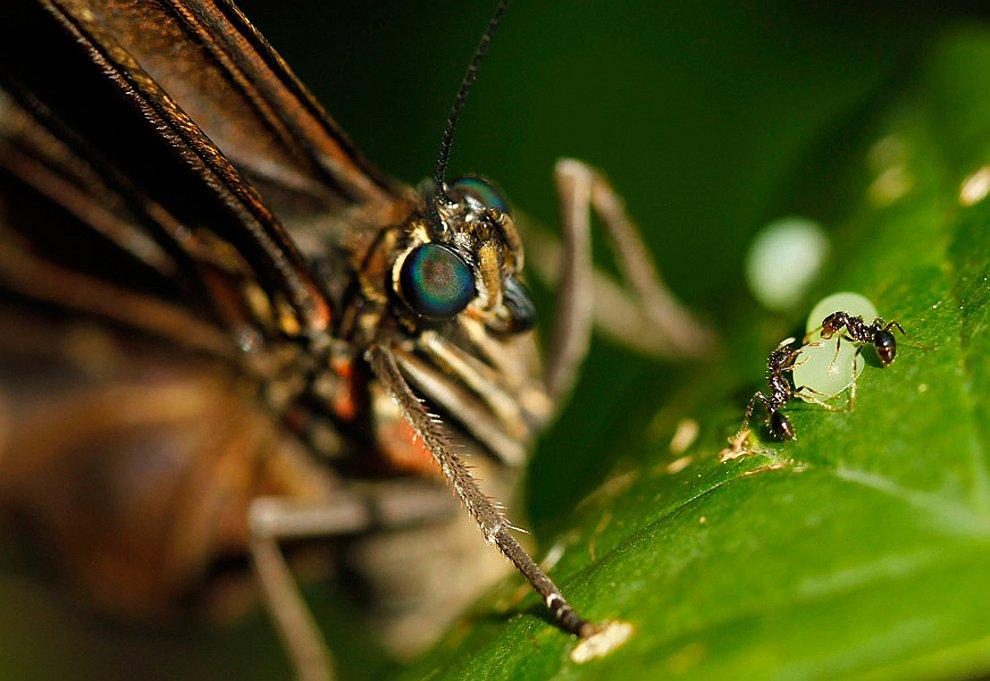 Бабочка и муравьи, пытающиеся украсть яйца