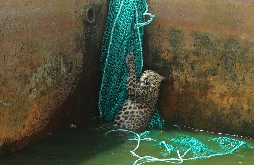 Спасение леопарда, упавшего в резервуар с водой в Западной Бенгалии, Индия