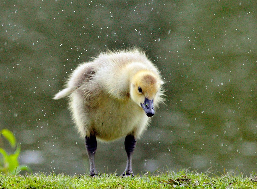 Гусенок под дождем в парке города Миддлтон, Нью-Йорк