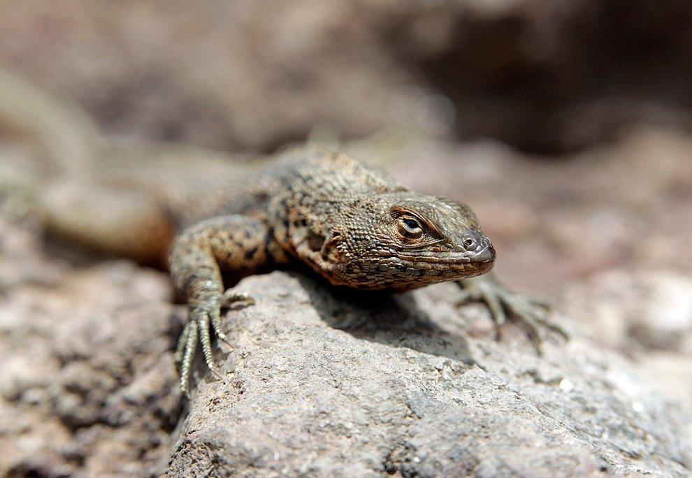 Ящерица Галапагосских островах