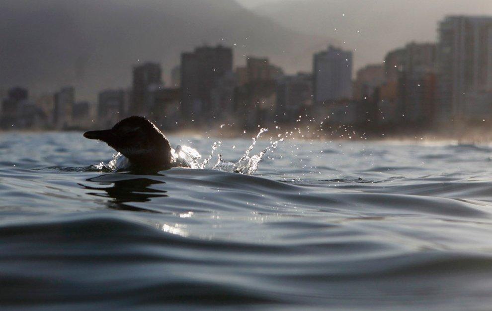 Пингвин, приплывший на льдине на пляж в Рио-де-Жанейро