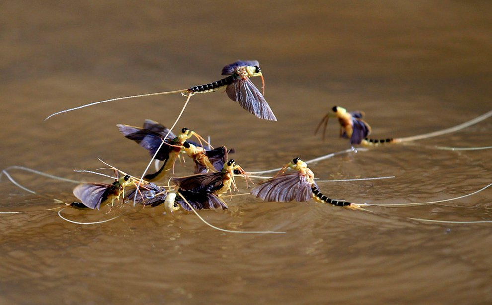 Палингении длиннохвостые на реке Тиса в Венгрии