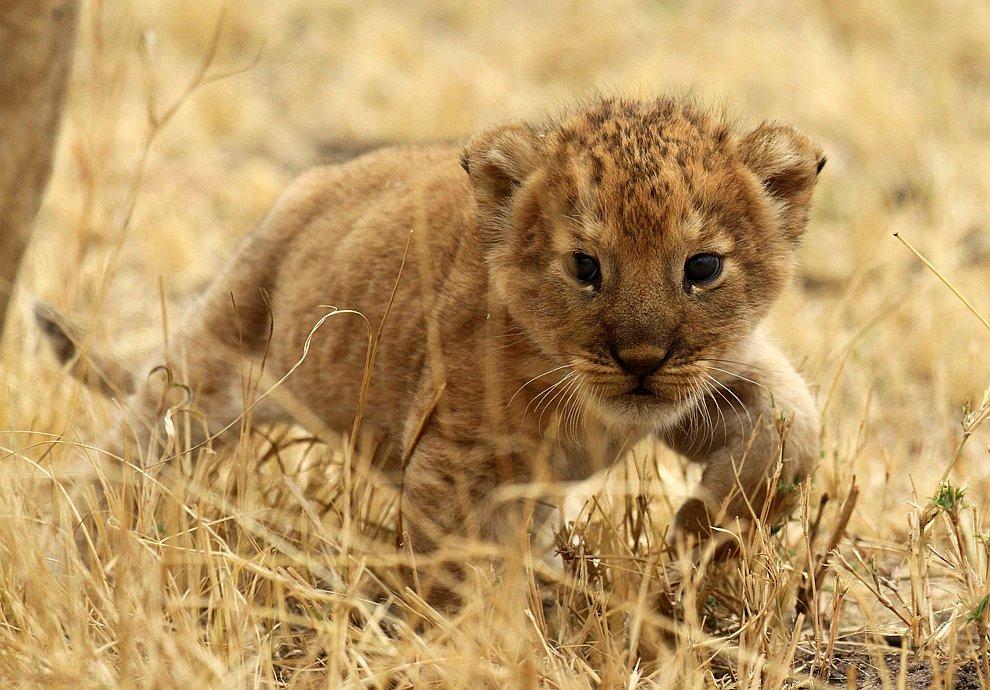 Львенок в национальном парке в Танзании
