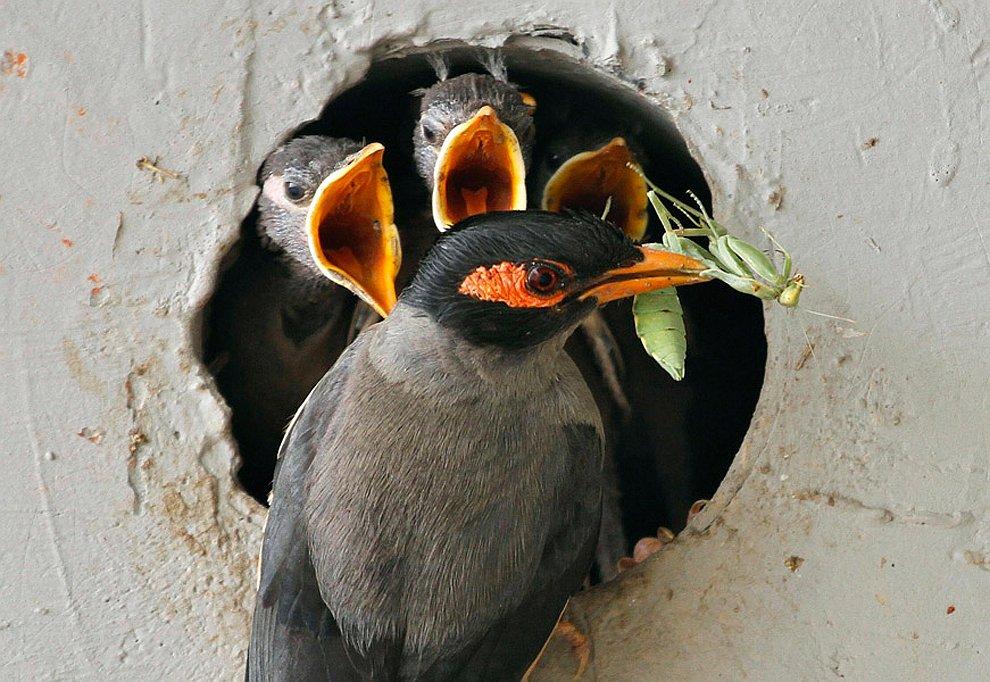 Выкорм птенцов обыкновенной майны (птицы семейства скворцовых)