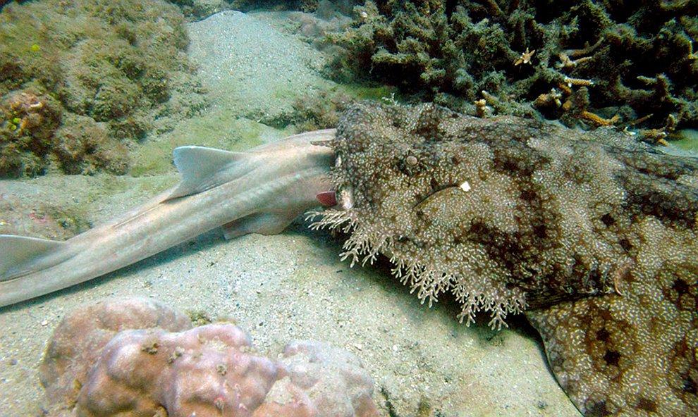 Бородатая акула, или воббегонг