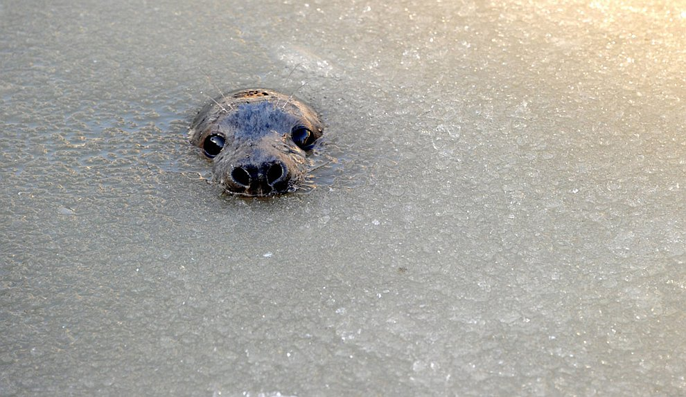 Молодой серый тюлень принимает ледяные ванны в Германии