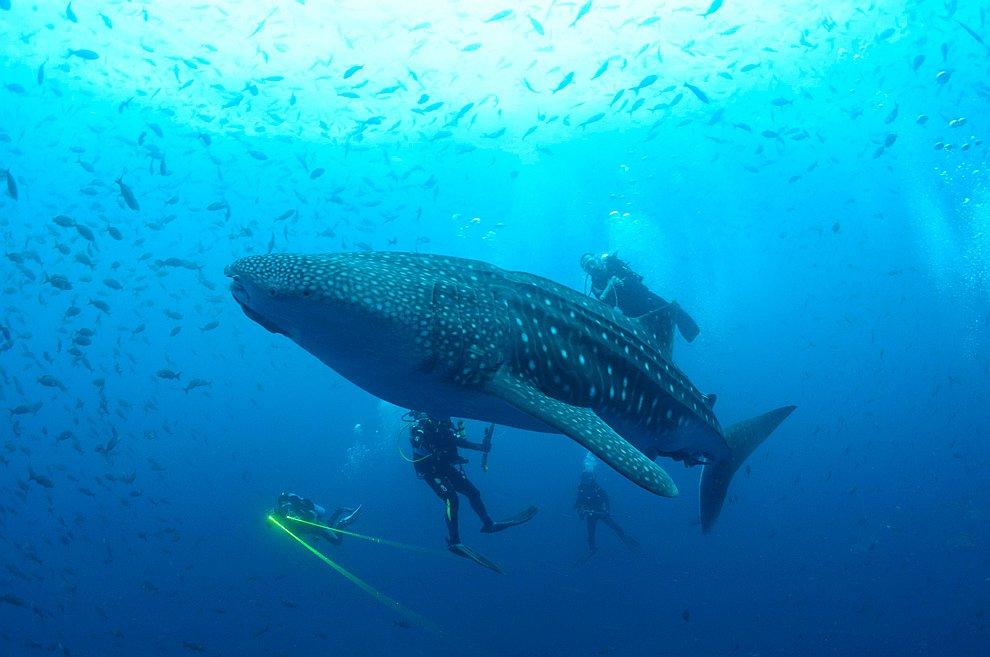 Водолазы рядом с китовой акулой на Галапагосских островах