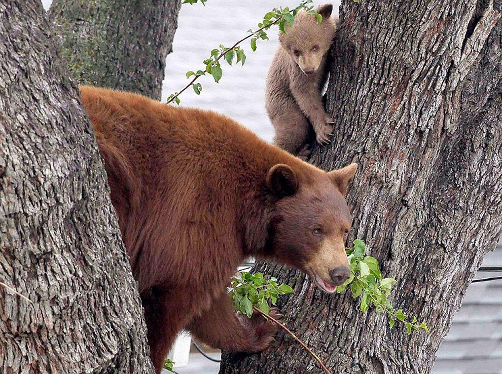 Мама и медвежата, испугавшиеся звука садящегося неподалеку вертолета