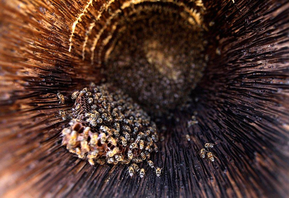 Медоносные пчелы на ферме на окраине города Сана, Йемен