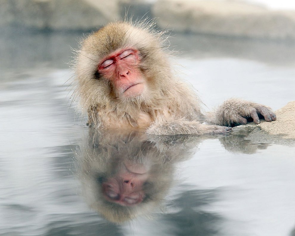 Снежная обезьяна расслабляется в горячих источниках, префектура Нагано, Япония