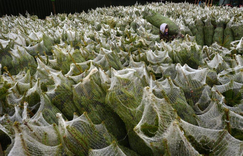 Ферма по выращиванию новогодних елок в Шотландии