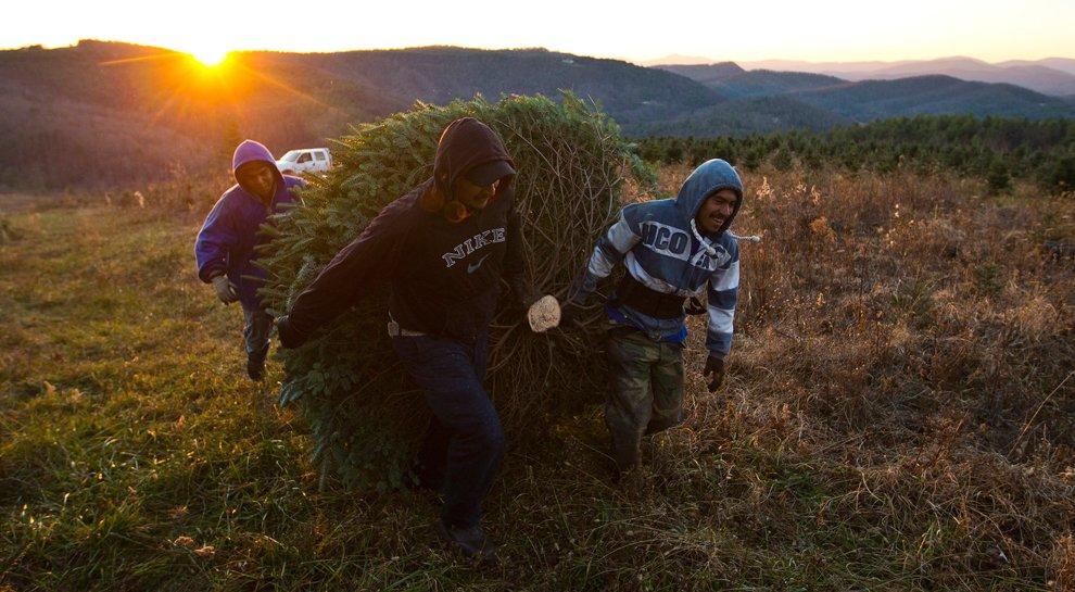 Работники еще одной фермы по выращиванию елок, на этот раз из Северной Каролины