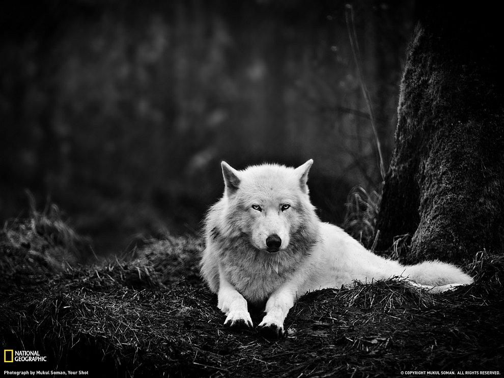 Серый Волк, Вашингтон