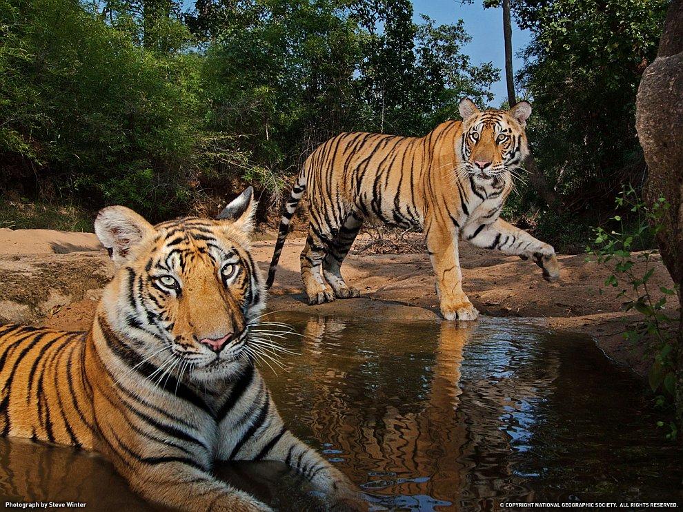 Тигры в Индии