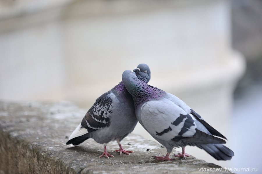 Beijando pombos