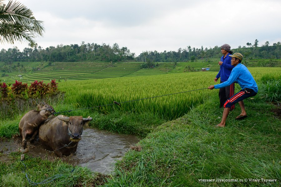 Рисовые террасы в Индозении — всемирное наследие ЮНЕСКО