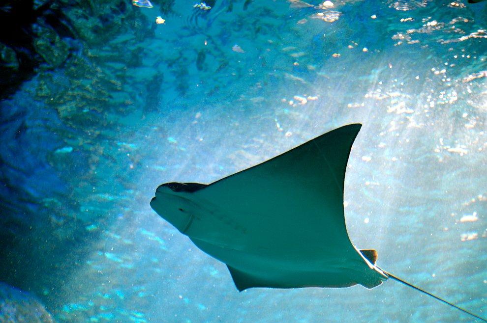 Скаты — водоплавающие бабочки
