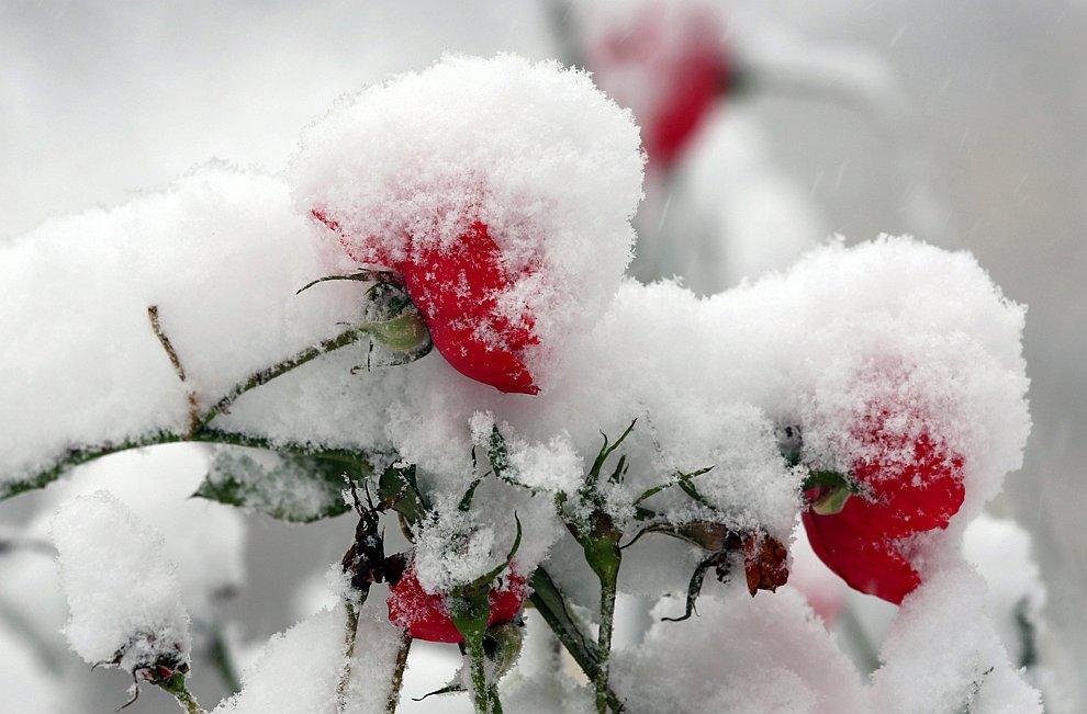 Снег и розы — красивое сочетание