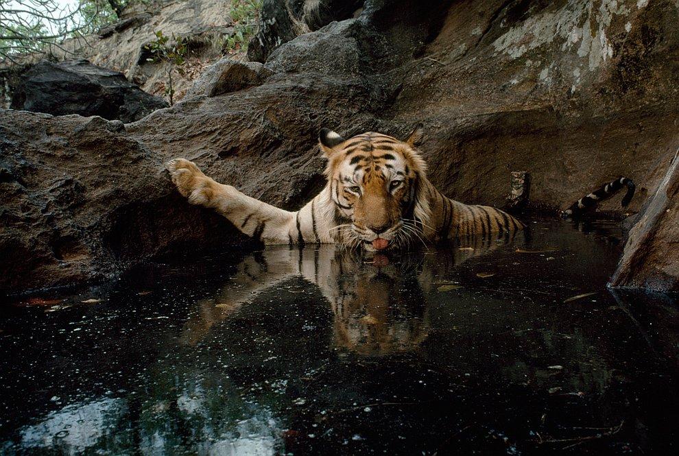 Фотография тигрицы была сделана в Индии с помощью камеры-ловушки