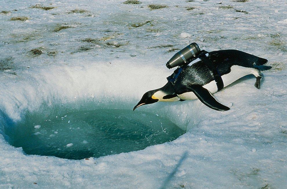 Для съемки нового фильма журналисты National Geographic закрепили на спину пингвина камеру