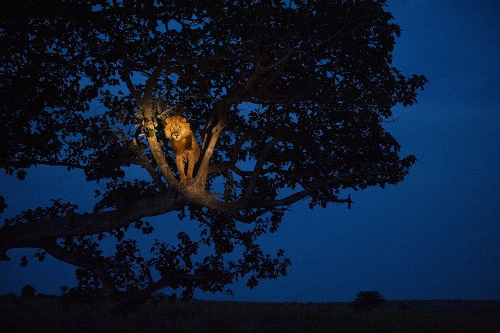 Интересная фотография льва в парке королевы Елизаветы в УгандеИнтересная фотография льва в парке королевы Елизаветы в Уганде