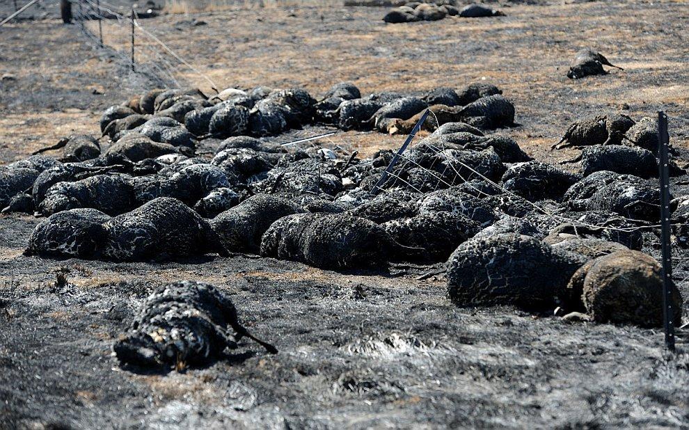 Не менее апокалиптично выглядят и сельхоз угодья, на которых бушевали лесные пожары