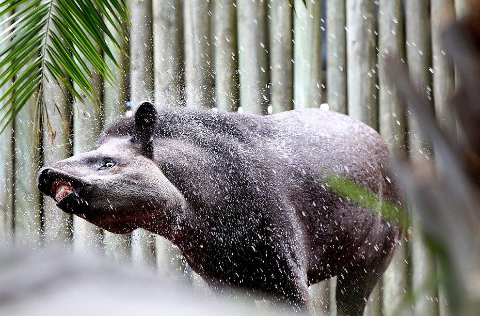 Тапир охлаждается в зоопарке Таронга — знаменитейшем и старейшем зоопарке Сиднея
