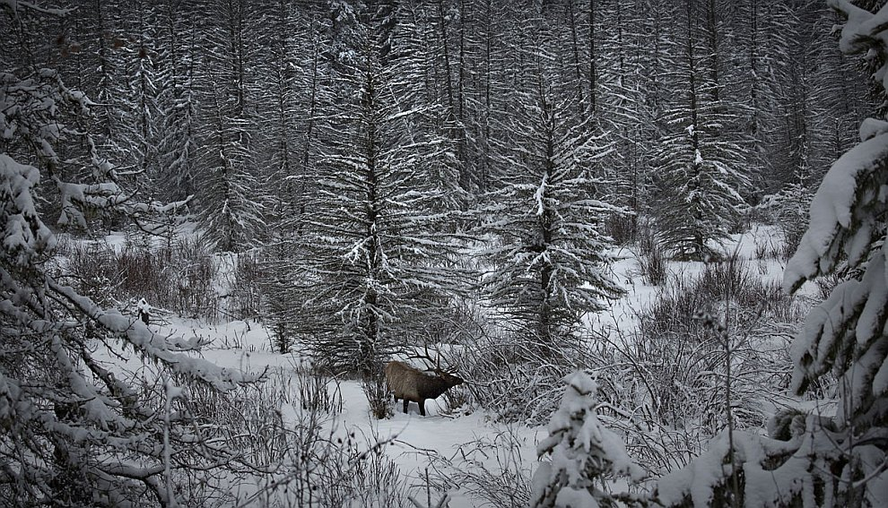 Лось в зимнем лесу