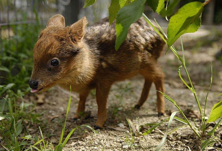 Пуду — самый маленький олень в мире